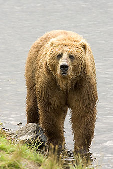 Brown Bear us fish.jpg